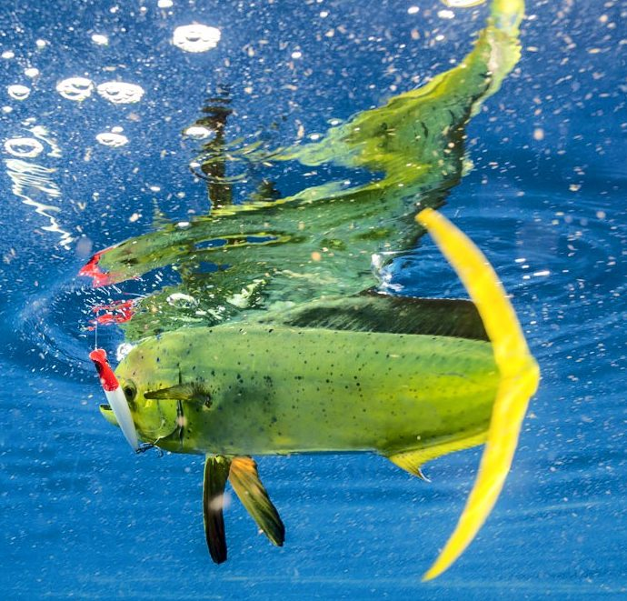 http://bigpinefishing.com/wp-content/uploads/2016/09/cropped-underwater-mahi-long.jpg